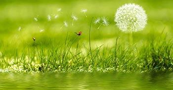 grüne Wiese Pusteblume Marienkäfer